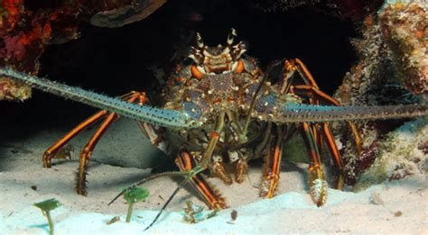 VIDEO: Spiny Lobster Seasons Set To Begin July 26, 27 and