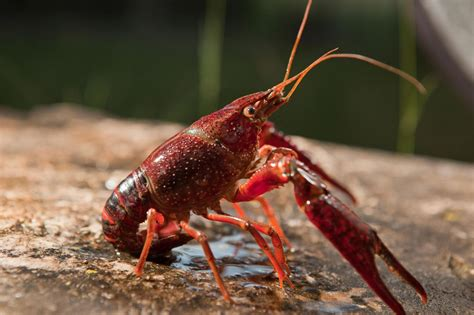 Invasive Crayfish Lead to More Mosquitoes—and Disease Risk