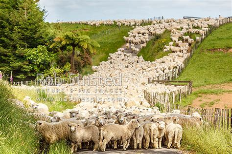 Sheep, ewes and lambs in race way during muster towards