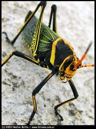 Langosta insecto - EcuRed