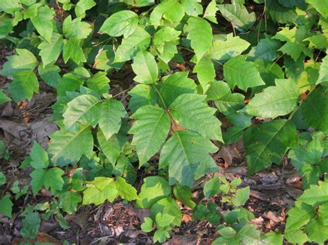 How to Prevent Getting Poison Ivy or Poison Oak: 11 Steps