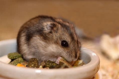 Complete Dwarf Hamster Care Guide - How To Keep A Dwarf