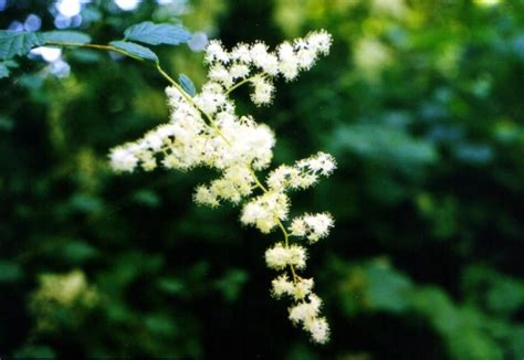 Oceanspray (Holodiscus discolor): Bundle of 10