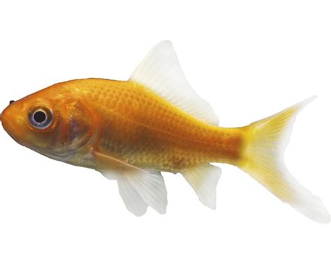 Petit poisson rouge - HORNBACH Luxembourg